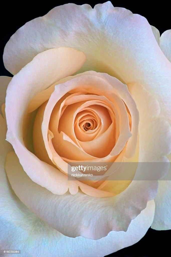 Hybrid rose flower : Stock Photo