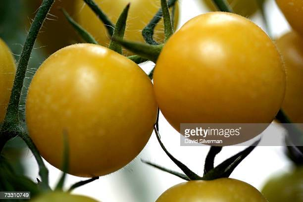 Hybrid yellow cherry tomatoes named Summer Sun ripen on the vine in a greenhouse February 13 2007 at Moshav Beit Hanan in central Israel One kilogram...