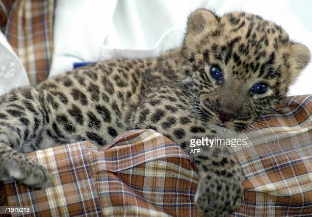 A vet holds an abandoned one month old panther female cub found in the Nirmal forest of the eastern state of Andhra Pradesh and brought to the Nehru...