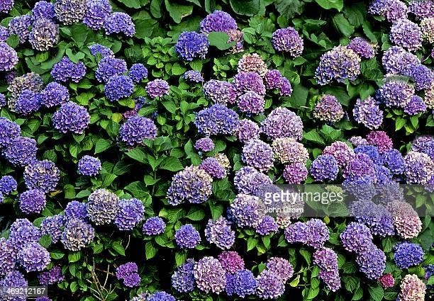Hydranga bush