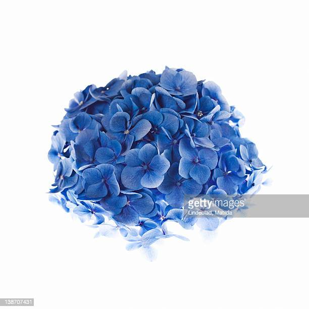 Hydrangea against white background