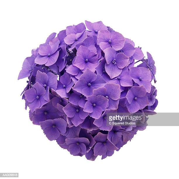 Hydrangea Ball Close-up