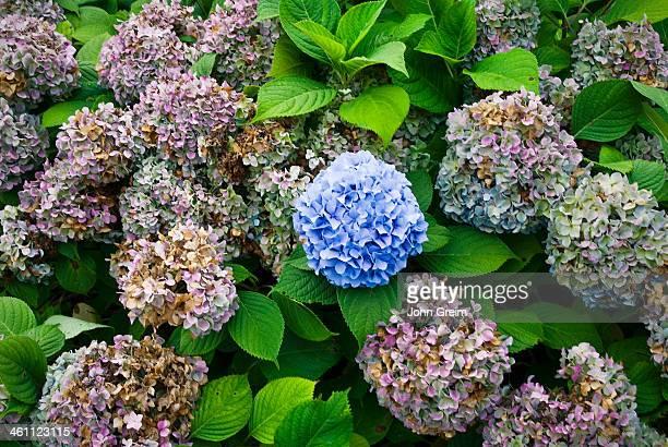 Hydrangea bush flower balls