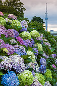 Hydrangea bush with Tokuo Skytree in background at sunset