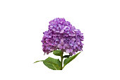 Hydrangea clipping path on white background