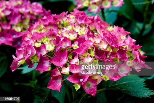 Hydrangea. Color Image : Stock Photo