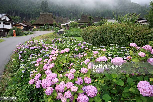 Hydrangea Flower and Kayabuki-no-sato Kitamura, Miyama, Nantan, Kyoto, Japan