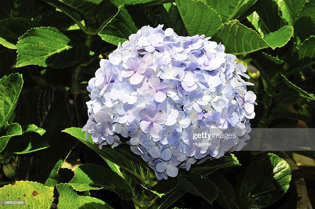 Hydrangea Flower : Stock Photo