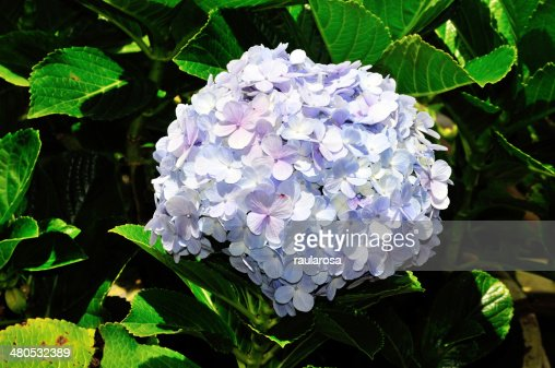 Hydrangea Flower : Stock Photo