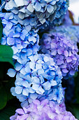 Pink and Blue Hydrangea Flowers in the Garden