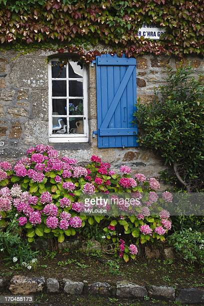 Hydrangea growing beside a cottage in the village of SaintMichelenGreve Cote dÆArmor Brittany France
