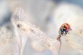 Hydrangea ladybird