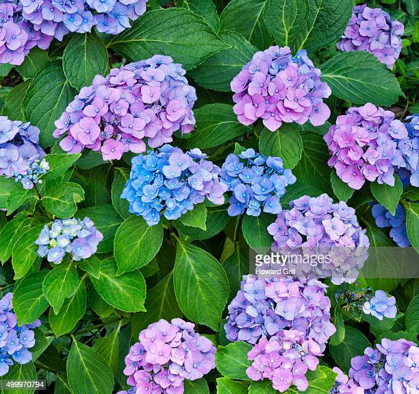 Hydrangea Or Hortensia With Purple And Blue Flowers