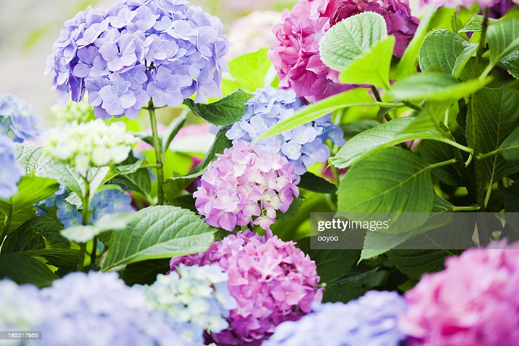 Hydrangea : Stock Photo