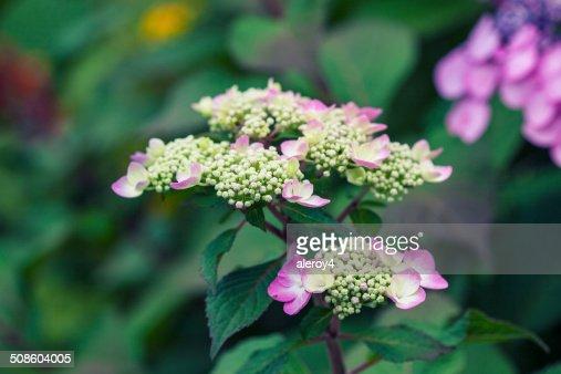 Hortensia : Foto de stock