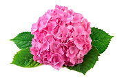 Hydrangea pink flower with green leaf on white background