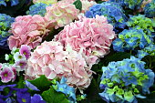 hydrangea plants in pink and blue, spring