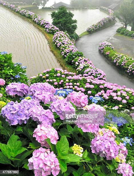 Hydrangeas are in full bloom at rice terrace paths on June 16 2015 in Misato Miyazaki Japan