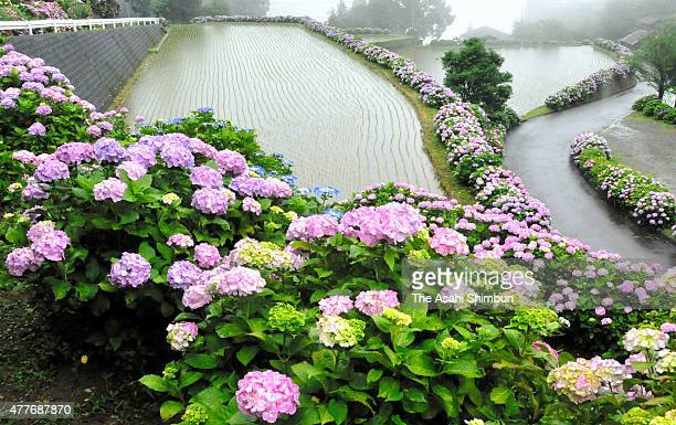 Hydrangeas are in full bloom at rice terrace paths on June 16 2015 in Misato Miyazaki Japan