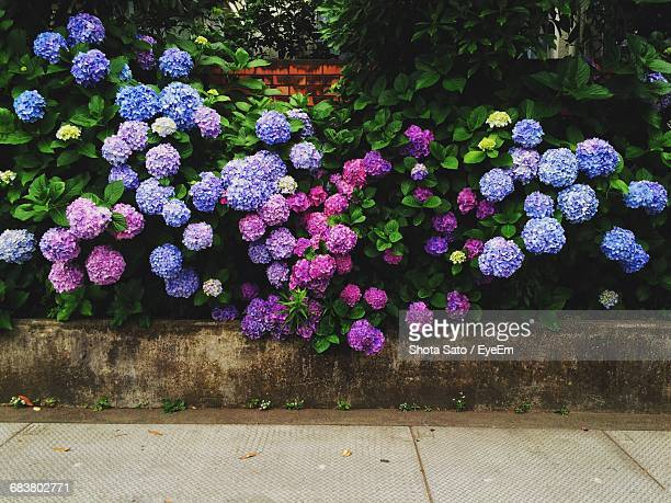 Hydrangeas Blooming In Garden
