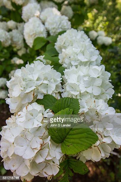 Hydrangeas have large flower heads or clusters of flowers They come in many colors including blue pinks white lavender and red Certain types even...