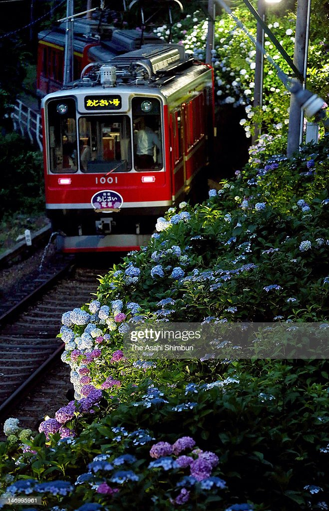 Hydrangeas Viewing Train runs on June 23, 2012 in Hakone, Kanagawa, Japan. The seasonal train operation is from June 23 to July 19.