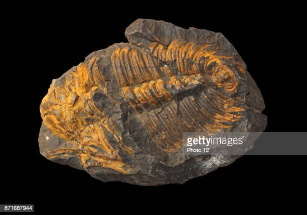 Hydrocephalus Carens extinct genus of redlichiid trilobite that was very common during the Middle Cambrian of Eurasia and North America Middle...