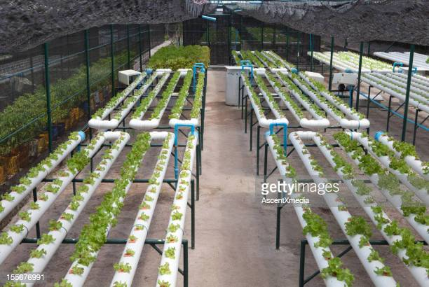 Hydroponic facility for growing lettuce