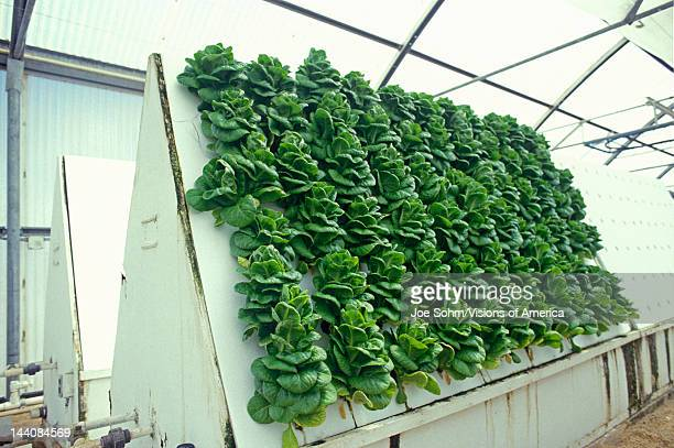 Hydroponic lettuce farming at the University of Arizona Environmental Research Laboratory in Tucson AZ