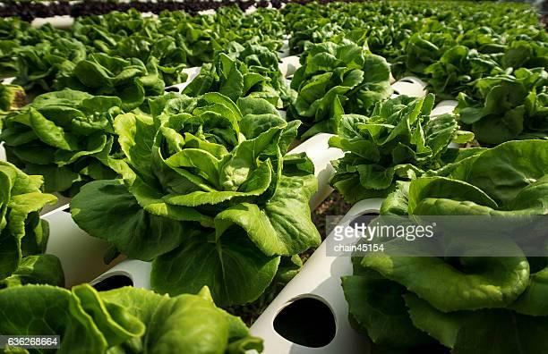 Hydroponic of Lettuce Salad in Green Farm.