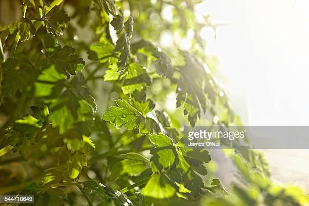 hydroponic organic parsley