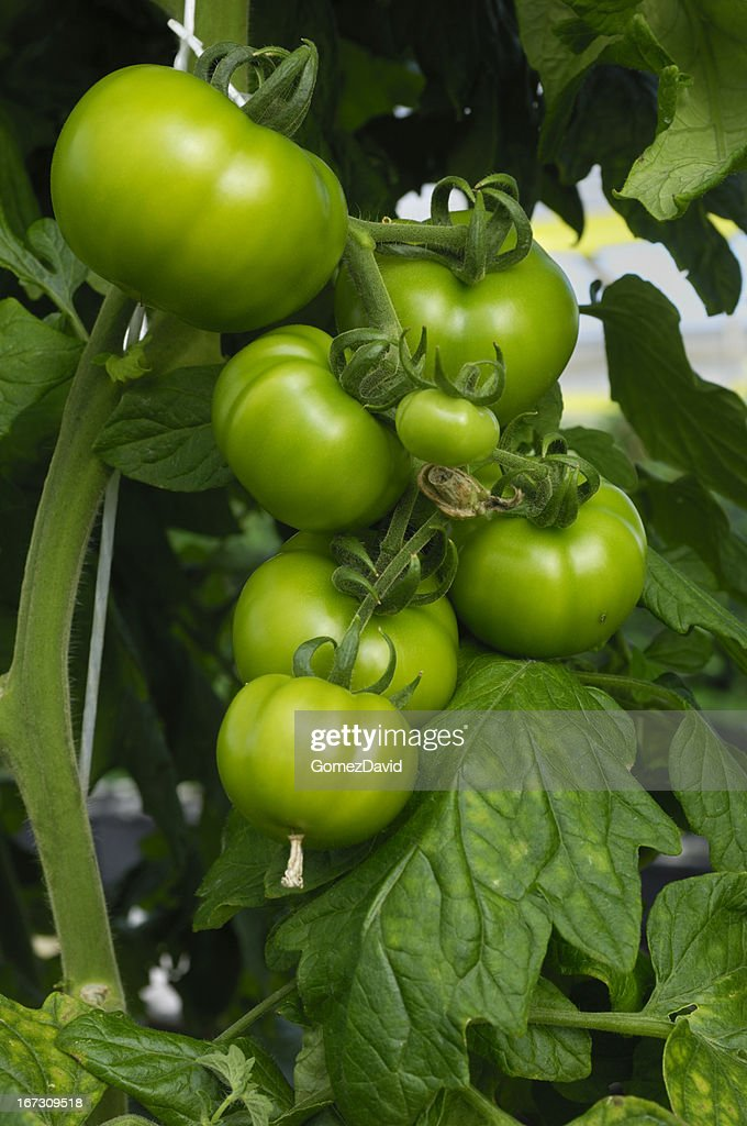 Hydroponic Tomatoes Ripening on the Vine