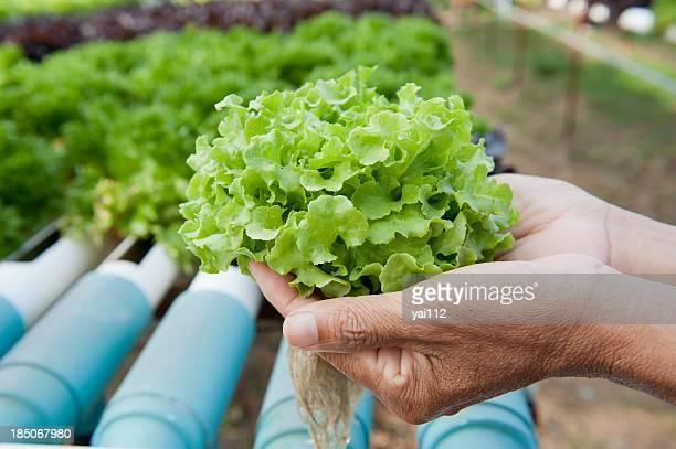 Hydroponics vegetable