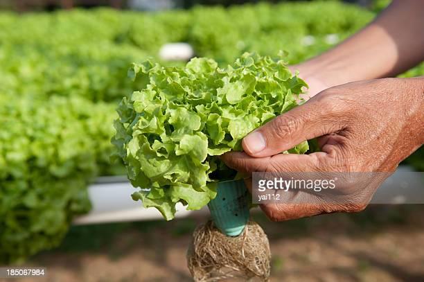Idroponica verdura