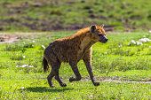 Hyena at Ngorongoro Crater conservation area. Tanzania.