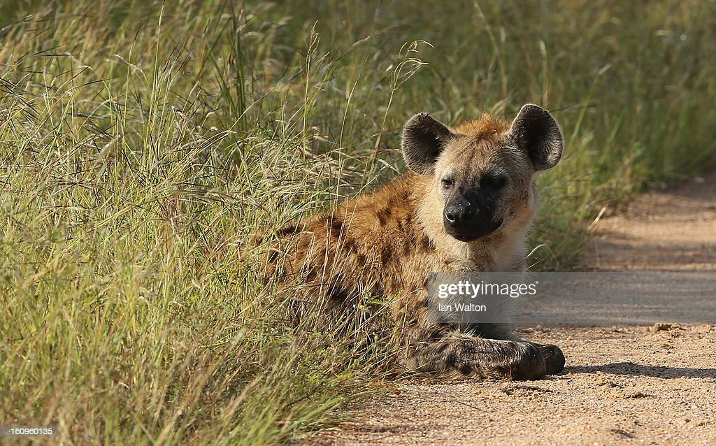 A hyena is pictured in Kruger National Park on February 6, 2013 in Skukuza, South Africa.