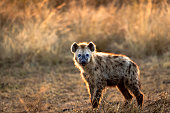 Young hyena in morning light
