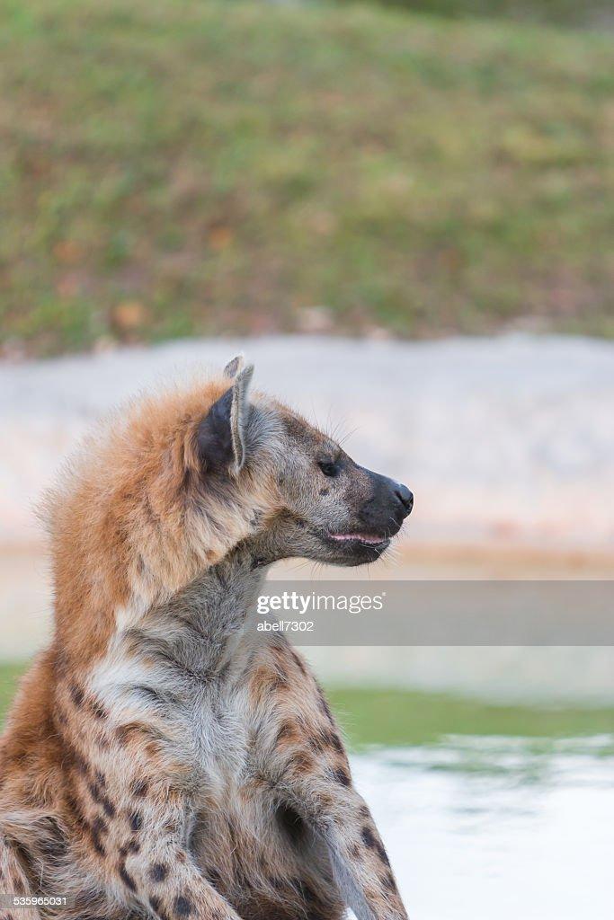 hyena : Stock Photo