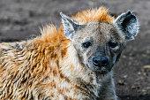 Hyena to run in the savannah