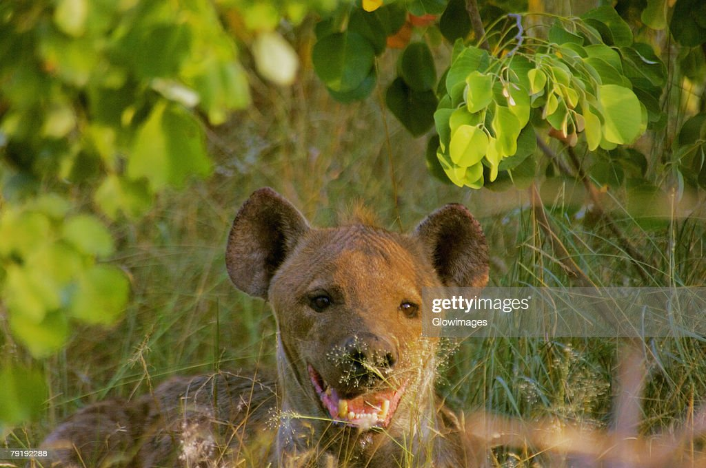 Hyena resting in a forest, Kruger National Park, Mpumalanga Province, South Africa : Foto de stock
