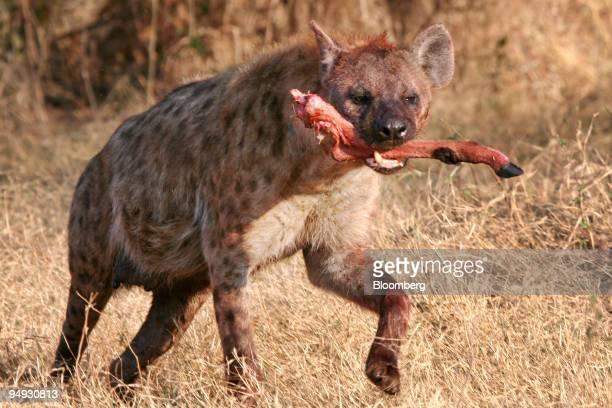A hyena runs off with an impala leg after a kill in Okavango Delta Botswana on Sept 16 2008 A three week safari organized by Africa Adventure Company...