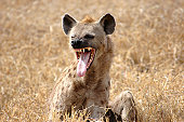 A Hyena showing its long tongue in East Africa