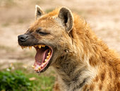 Wild Hyena showing powerful jaws