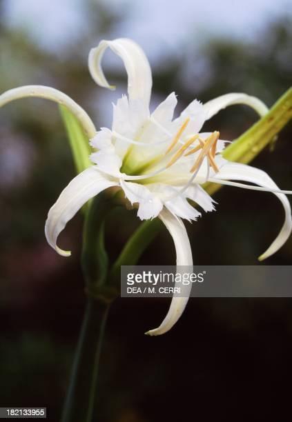 Hymenocallis Amaryllidaceae