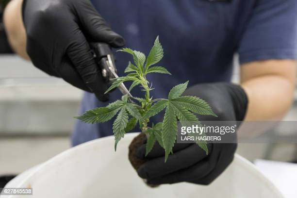 Ian Johnston trims medicinal marijuana plants at Tweed INC in Smith Falls Ontario on December 5 2016 / AFP / Lars Hagberg