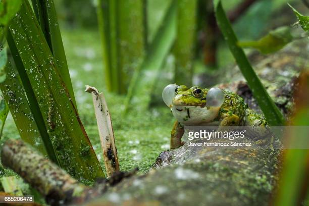 A iberian green frog (Pelophylax perezi) croaking among the vegetation of a pond, with inflated vocal sacs..