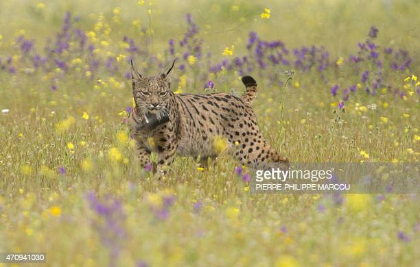 Iberian lynx Lava takes its first steps after being released on a farm near the village of Mazarambros near Toledo on April 24 2015 part of an...