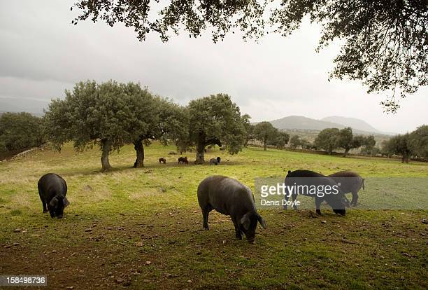 Iberian Pigs feed on fallen acorns at the farm of Faustino Prieto in the village of Cespedosa on December 14 2012 near Salamanca Spain Drycured...