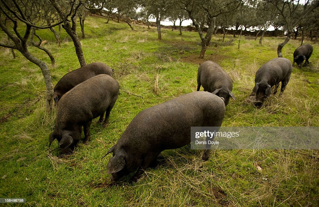 Iberian Pigs feed on fallen acorns at the farm of Faustino Prieto in the village of Cespedosa on December 14, 2012 near Salamanca, Spain. Dry-cured Iberian ham or Jamon Iberico is a favourite amongst Spaniards and producers are hoping for improved sales over the busy christmas period. The jamon legs are usually dry-cured for up to three years after the pigs have been few on a diet of acorns in the last three months of their lives.