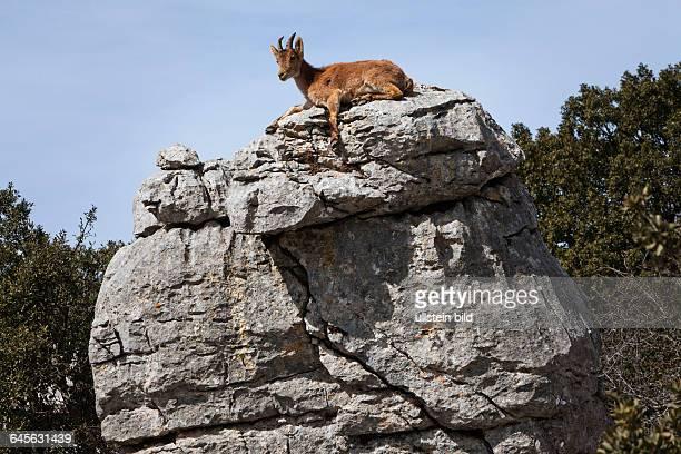 Iberiensteinbock im Karstgebirge des Naturschutzgebiets von El Torcal